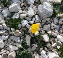 papavero retico, Dolomiti